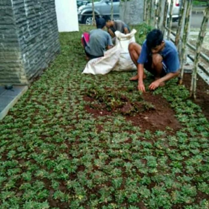 Jual Rumput Hijau Taman Gajah Mini Untuk Hiasan Taman Rumah Depan Kab Bogor Multi Green Tokopedia