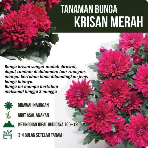 Jual Bunga Krisan Merah Kota Batu Klub Bunga Tokopedia