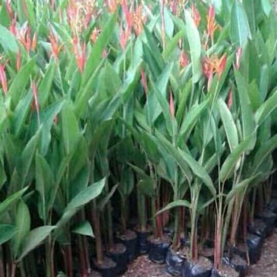 Jual Tanaman Heliconia Bunga Merah Pohon Pisang Pisangan Kab Bogor Nursery Plant Tokopedia