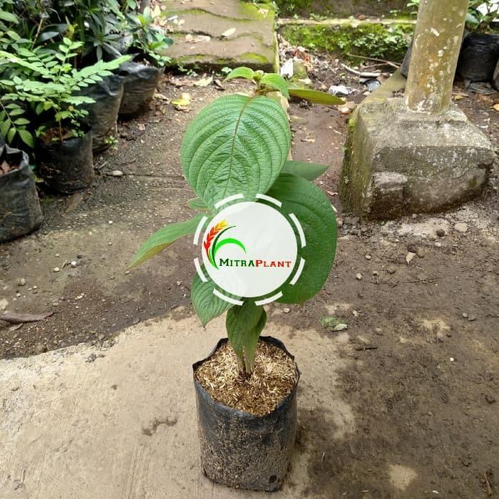 Jual Tanaman Hias Nusa Indah Merah Bibit Pohon Bunga Nusa Indah Merah Kota Bogor Mitraplant Tokopedia