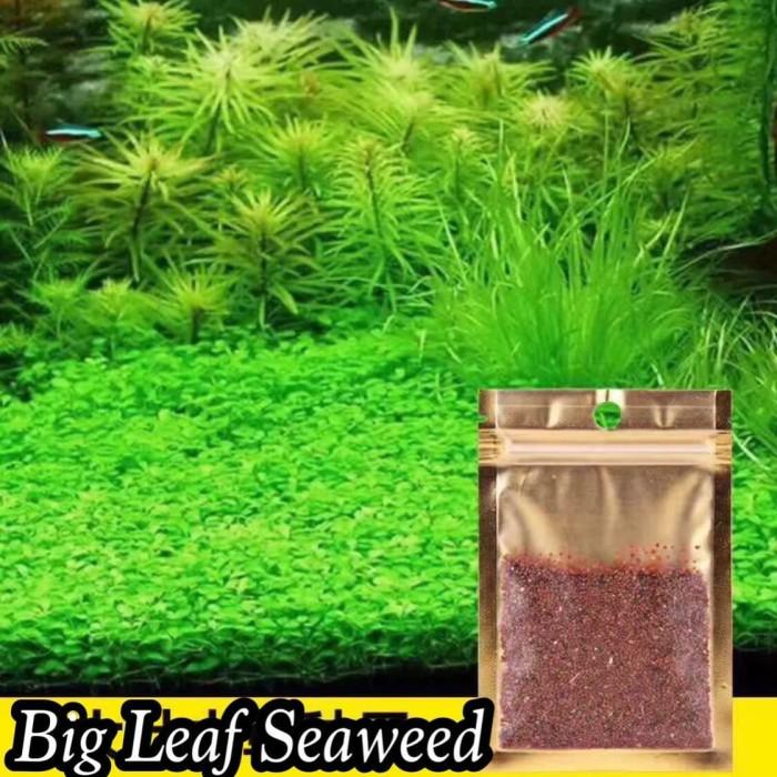 Jual Aquascape Carpet Seed Bibit Rumput Dasar Aquarium ...