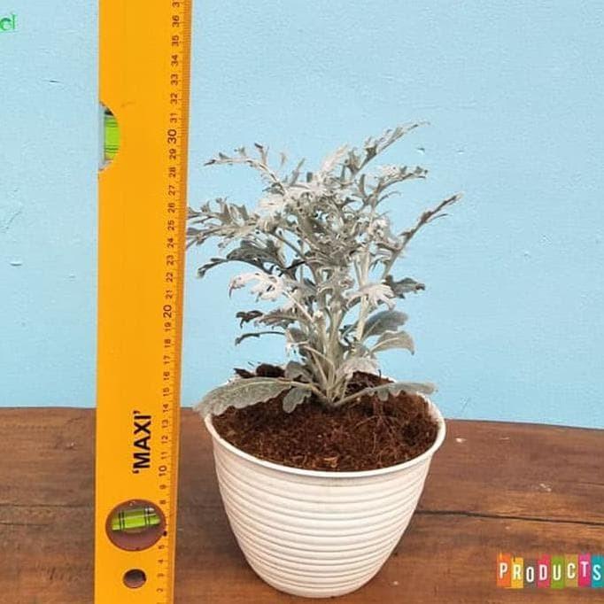 Tanaman Putri salju daun kecil / Dusty Miller Jacobaea maritima