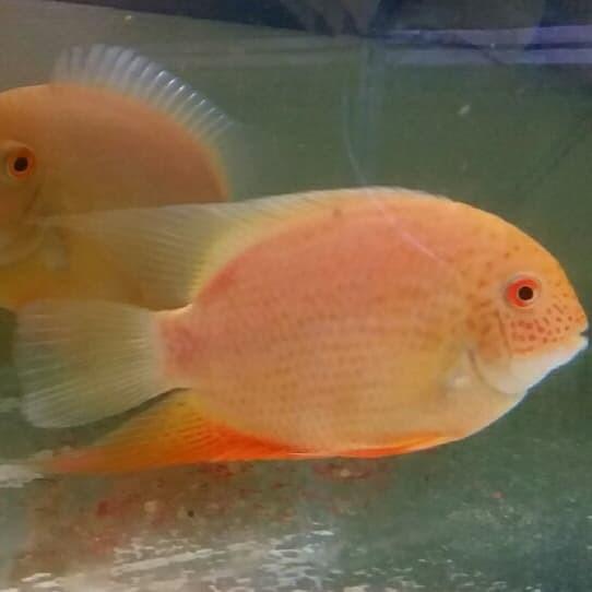 Download 980 Gambar Ikan Hias Severum HD Gratis