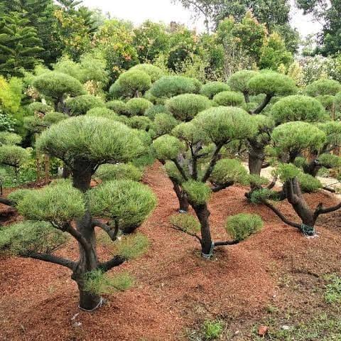 Jual Pohon Cemara Udang Kab Bogor Daffi Landscape Tokopedia