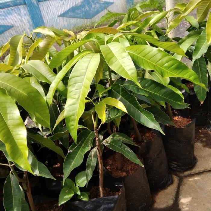 bibit tanaman buah mangga mahatir ukuran 20 cm