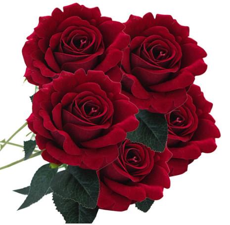 Gambar Bunga Mawar Merah Cantik Sempoa Dunia