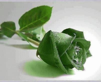 Jual New Benih Bibit Bunga Mawar Hijau Green Rose Import