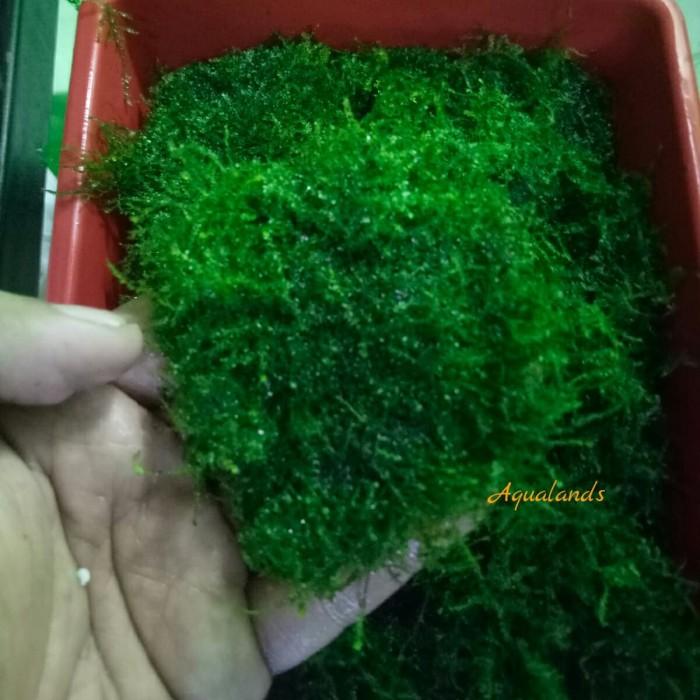 Jual Tanaman Aquascape Moss Weeping Per Nampan Kota Bekasi Aqualands Tokopedia