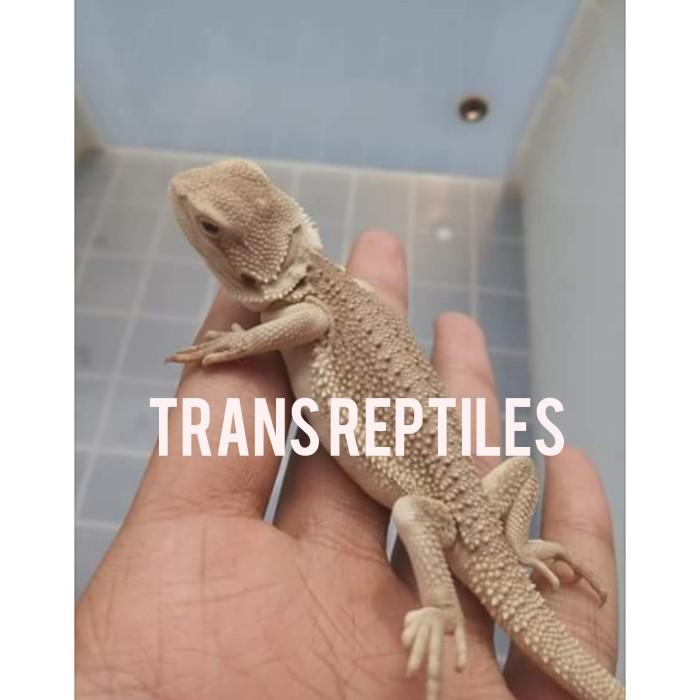 Jual Bearded Dragon morph zero - Kab  Karawang - Trans Reptiles | Tokopedia