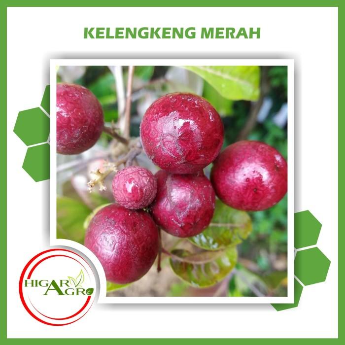 harga Bibit tanaman buah kelengkeng merah Tokopedia.com