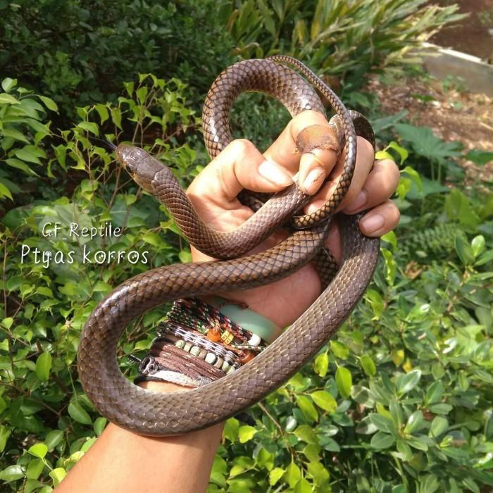 Jual Ular Lokal 013 Ptyas Korros Kota Depok Gf Reptile