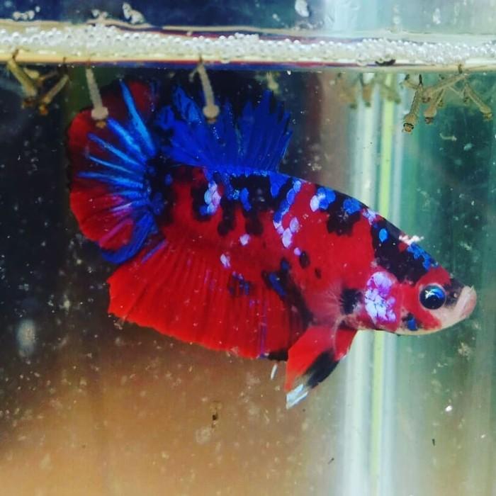 Jual Ikan cupang Koi Galaxy size L - Kota Bekasi - Syahrul ...