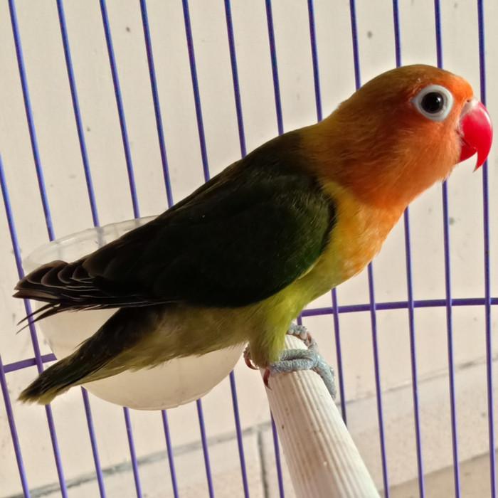 77 Foto Gambar Burung Lovebird Warna Dark Green HD