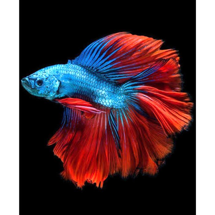 Unduh 68 Koleksi Gambar Ikan Cupang Hias HD Terpopuler
