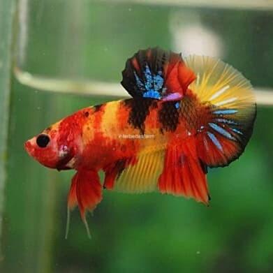 Jual Anakan Burayak Ikan Cupang Jantan Male Nemo Candy Emerald