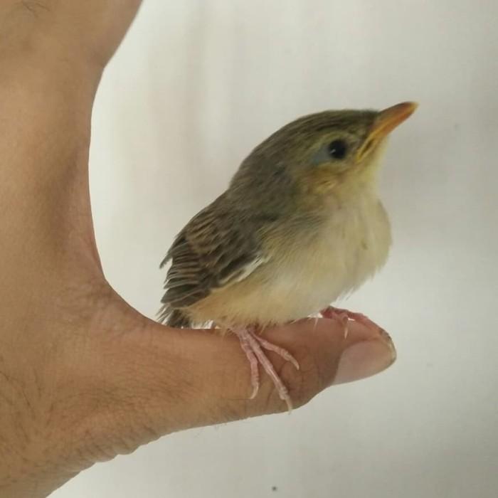 Jual Lolohan Cigun Kota Bogor Bandar Burung Lolohan Tokopedia