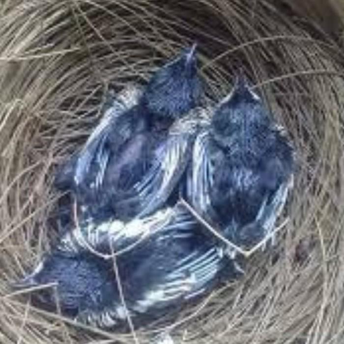 Jual Lolohan Kacer Kota Bogor Bandar Burung Lolohan Tokopedia