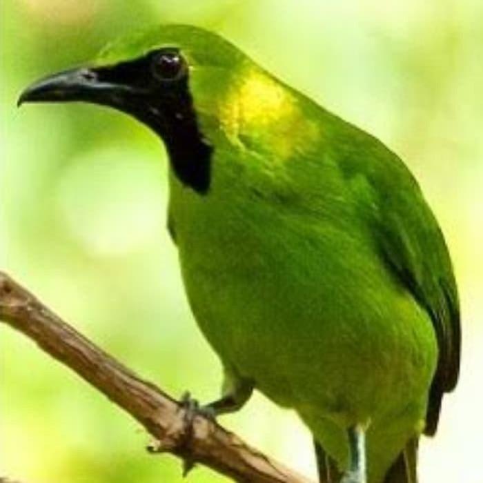 Jual Cucak Ijo Nopeng Kota Bogor Bandar Burung Lolohan Tokopedia