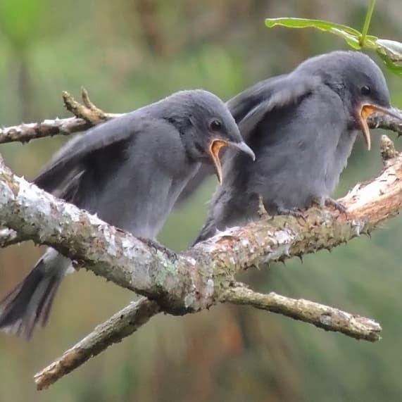 Jual Lolohan Sri Gunting Abu Kota Bogor Bandar Burung Lolohan Tokopedia