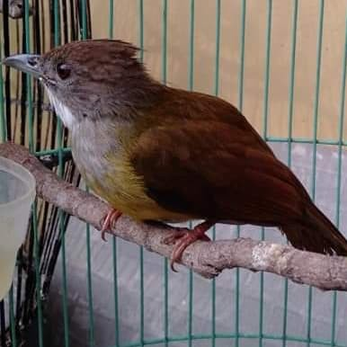Jual Cucak Jenggot Kota Bogor Bandar Burung Lolohan Tokopedia