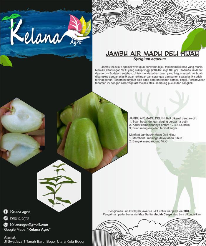Jual Jambu Air Madu Deli Hijau 70 Cm Kota Bogor Kelana Agro Parid Tokopedia