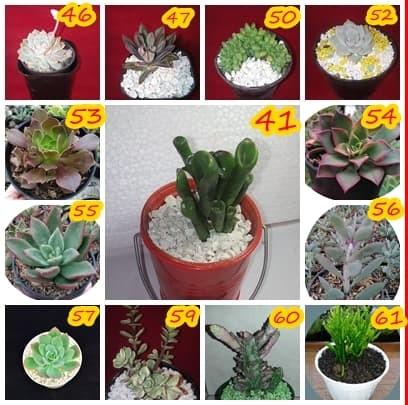 Jual kaktus cactus succulent sekulen tanaman hias bunga murah ... 67f26c32ed