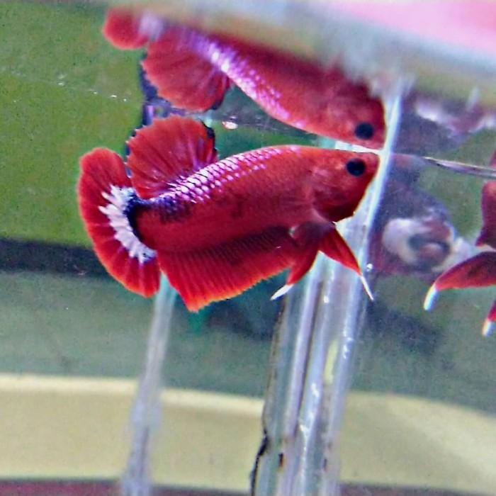 Jual Ikan Cupang Hias Hellboy Blood Kab Bekasi Betakomprang Tokopedia