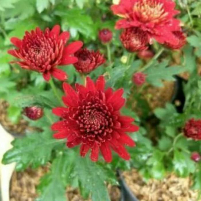 Jual Tanaman Hias Bunga Aster Merah Kab Bandung Barat Awafatah Tokopedia