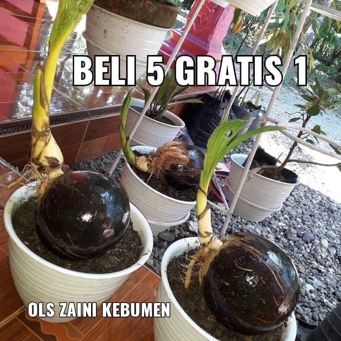 Jual Bonsai Kelapa Puyuh Hijau Mini Pilihan Ter Murah Kab Kebumen Ols Zaini Kebumen Tokopedia
