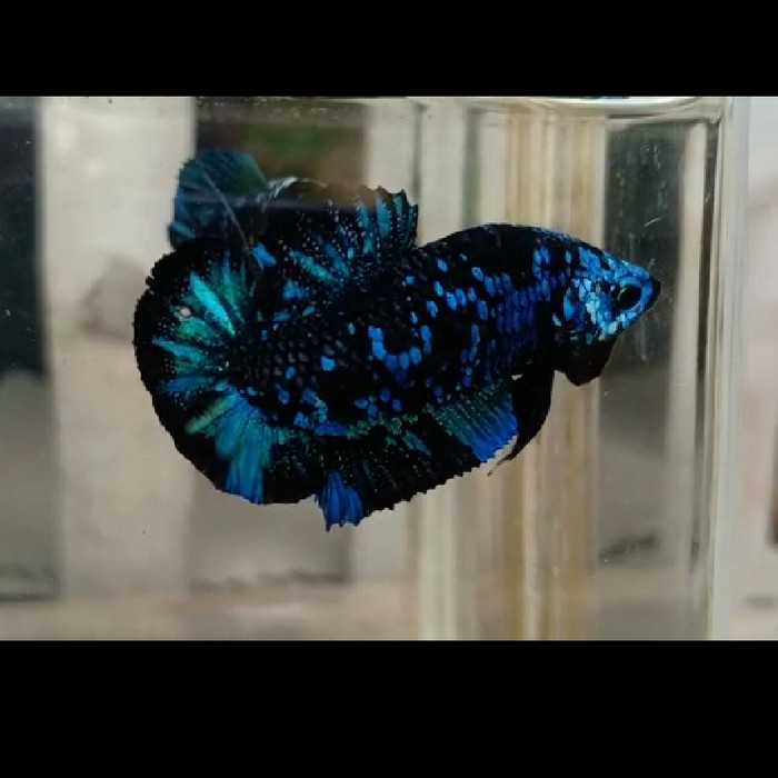 Jual Ikan Cupang Avatar Aka Black Galaxy Orderan Kab Ciamis Nggi Tokopedia