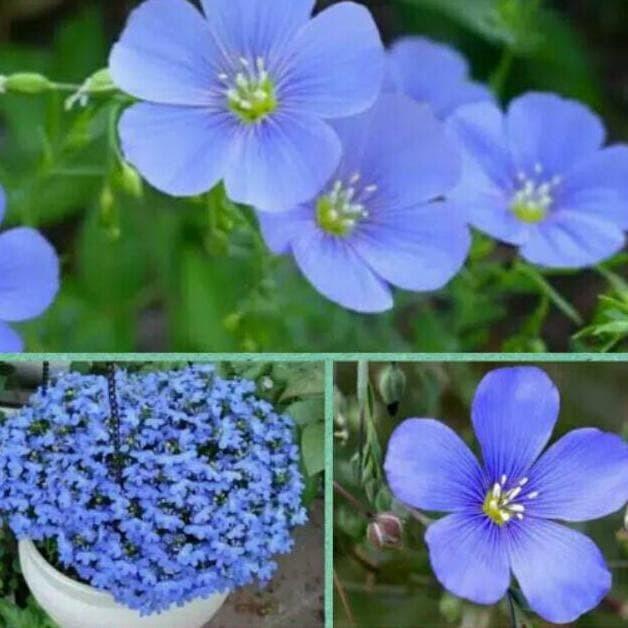 Jual Bibit Benih Seeds Biji Bunga Biru Cantik Blue Flax Flower