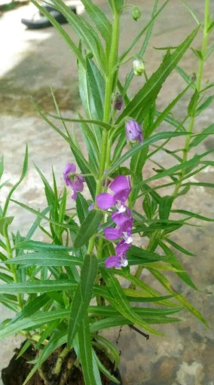 Jual Tanaman Hias Lavender Pengusir Nyamuk Pohon Anti Nyamuk Tanaman Kab Tangerang Bayu Kurniawancs