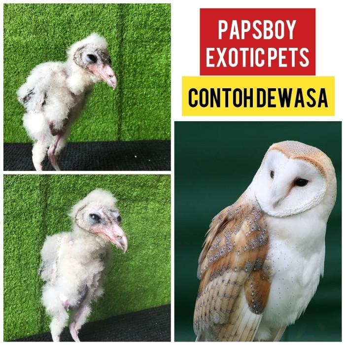 Jual Burung Hantu Tyto Alba Kota Tangerang Selatan Papsboy Exotic Pets Tokopedia