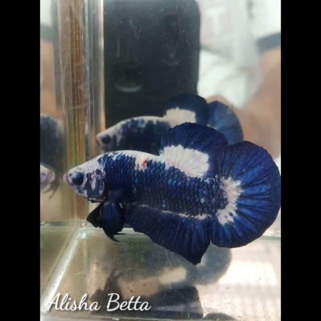Jual Ikan Cupang Hias Blue Panda Kota Lubuk Linggau Alisha Betta Tokopedia