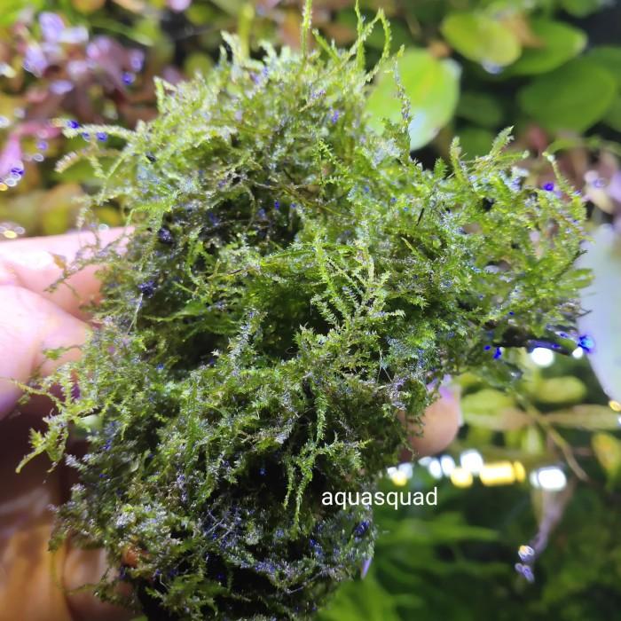 Jual Tanaman Aquascape Moss Mini Christmast Bahan - Kab ...
