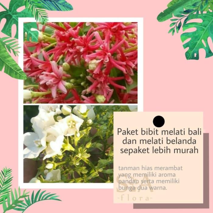 Jual Paket Bibit Bunga Melati Bali Kesidang Dan Melati Belanda Kota Batu Si A Flora Tokopedia