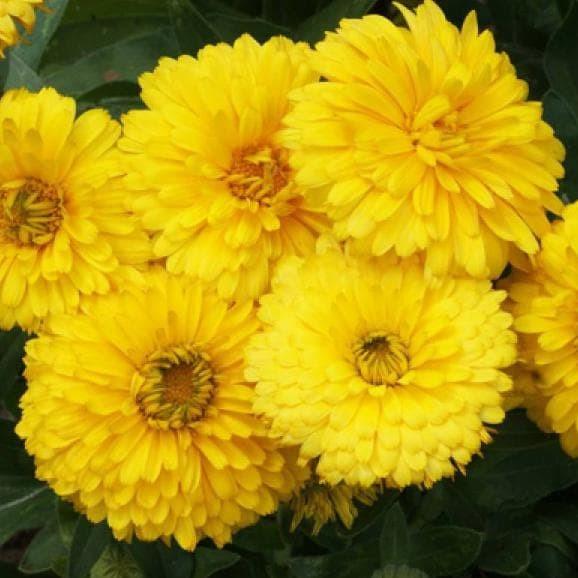 Jual Bibit Benih Seeds Biji Tanaman Bunga Calendula Bono Bon Yellow Kab Sidoarjo Bibitunggulshop Tokopedia