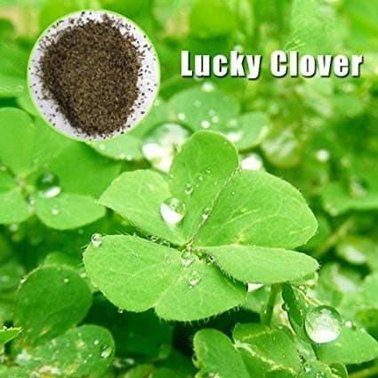Jual Lucky clover bibit benih tanaman rumput air seed ...
