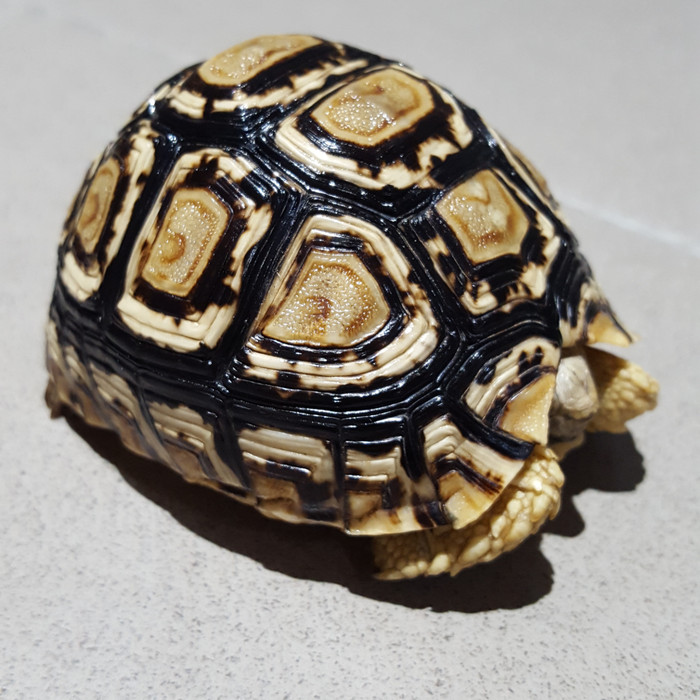 harga Kura-kura darat pardalis tortoise Tokopedia.com