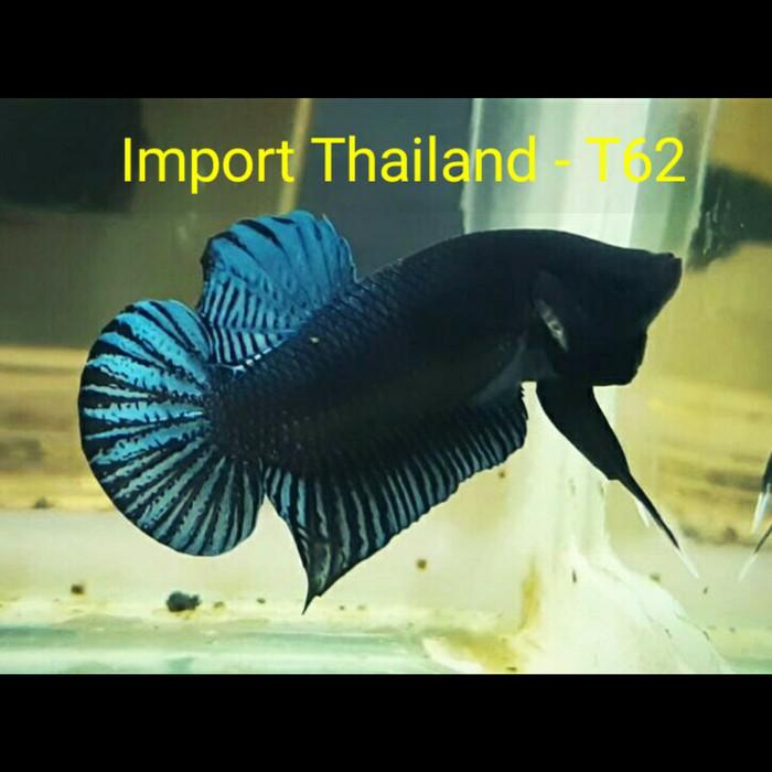 Jual Ikan Cupang Aduan Tiki Cek Harga Di Pricearea Com