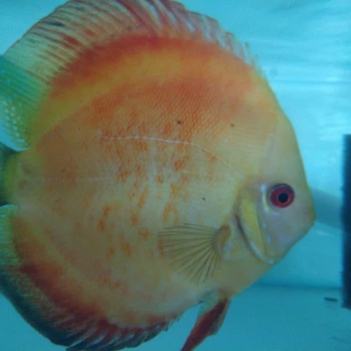 Jual Ikan Discus Red Golden Melon Jumbo Male Jantan 5 Discus Cikarang Kab Bekasi Vidic Discus Fish Tokopedia
