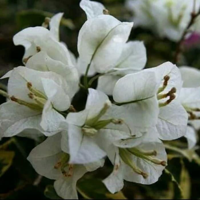 Jual Pohon Hias Bunga Kertas Bugenvil Bunga Putih Kab Bogor Stevany Tanaman Green163 Tokopedia