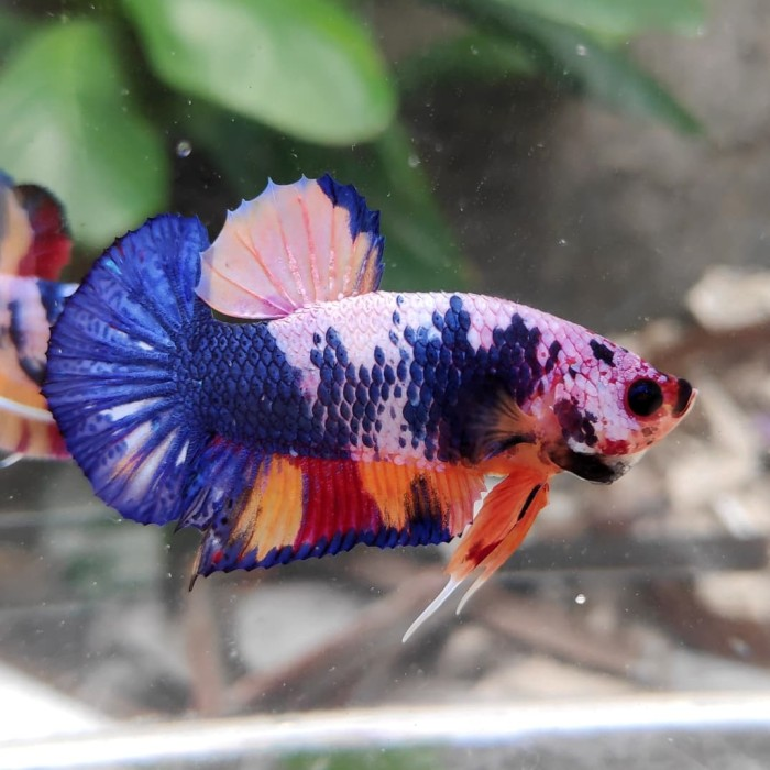 Jual Ikan Cupang Plakat Koi Nemo Candy Multicolors 08 Kota Tangerang Simon Adi Betta Tokopedia