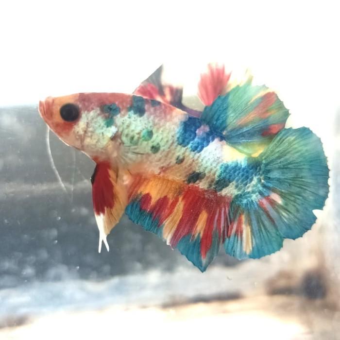 Jual Ikan Cupang Betta Fish Kab Tulungagung Ryu Aquatic Tokopedia