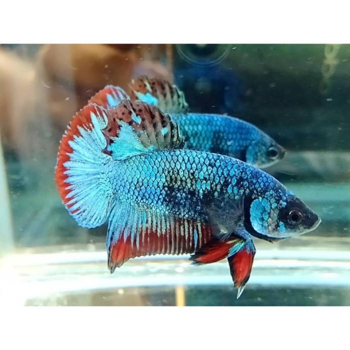 Anakan Ikan Cupang Avatar Umur 1 Bulan