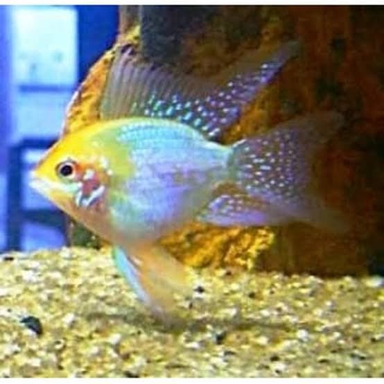 Jual Ikan Hias Air Tawar Ramirezi German Aquarium ...