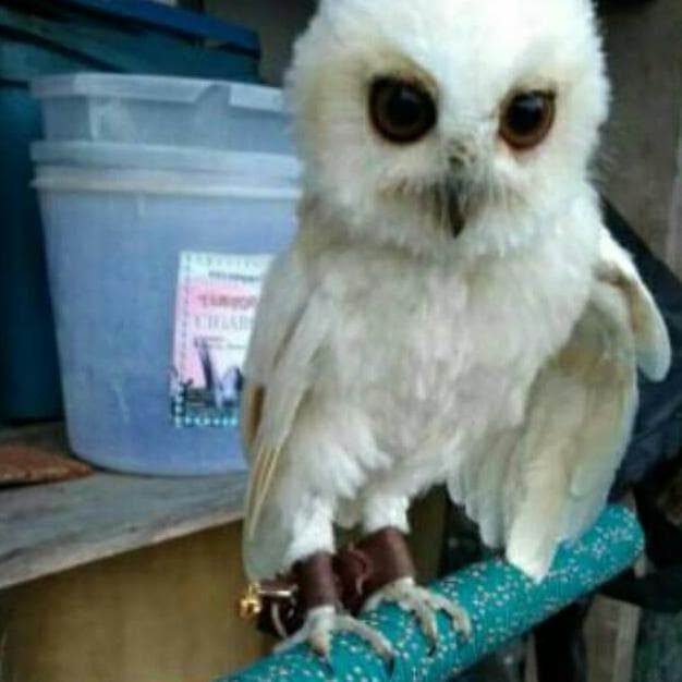 Jual Da Bestt Angklet Celepuk Tali Burung Hantu Celepuk Kabit Terlariss Jakarta Pusat Herlambang Setyanto Shop Tokopedia