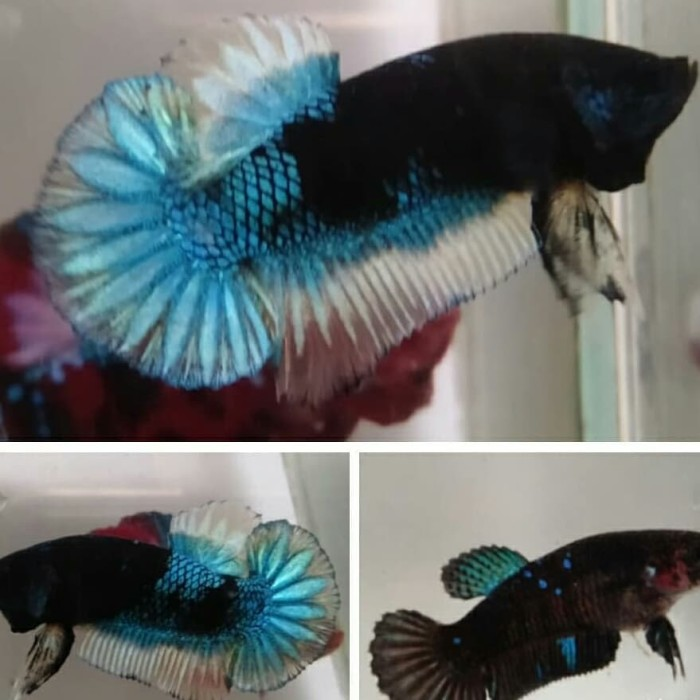 Jual Ikan Cupang Avatar Bbl Kota Depok Cupang Rumahan Tokopedia