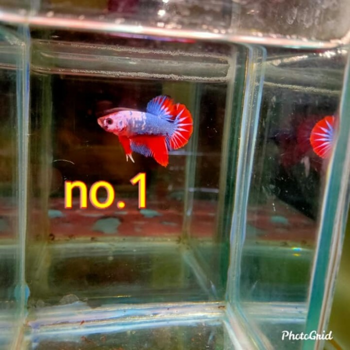 Jual Ikan Cupang Hias Jakarta Pusat Gloriaglow Tokopedia