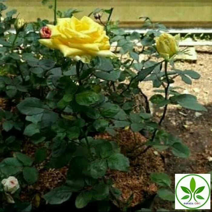 Jual Tanaman Hias Bunga Mawar Kuning Pohon Bunga Mawar Kuning Berbunga Kab Bogor Barayatani Tokopedia